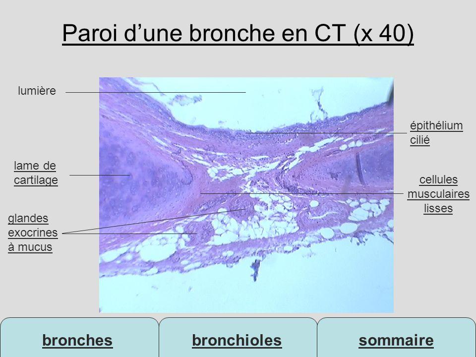 bronchesbronchioles sommaire Paroi dune bronche en CT (x 40) lame de cartilage lumière glandes exocrines à mucus épithélium cilié cellules musculaires
