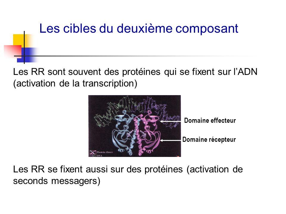 Les cibles du deuxième composant Domaine récepteur Domaine effecteur Les RR sont souvent des protéines qui se fixent sur lADN (activation de la transc