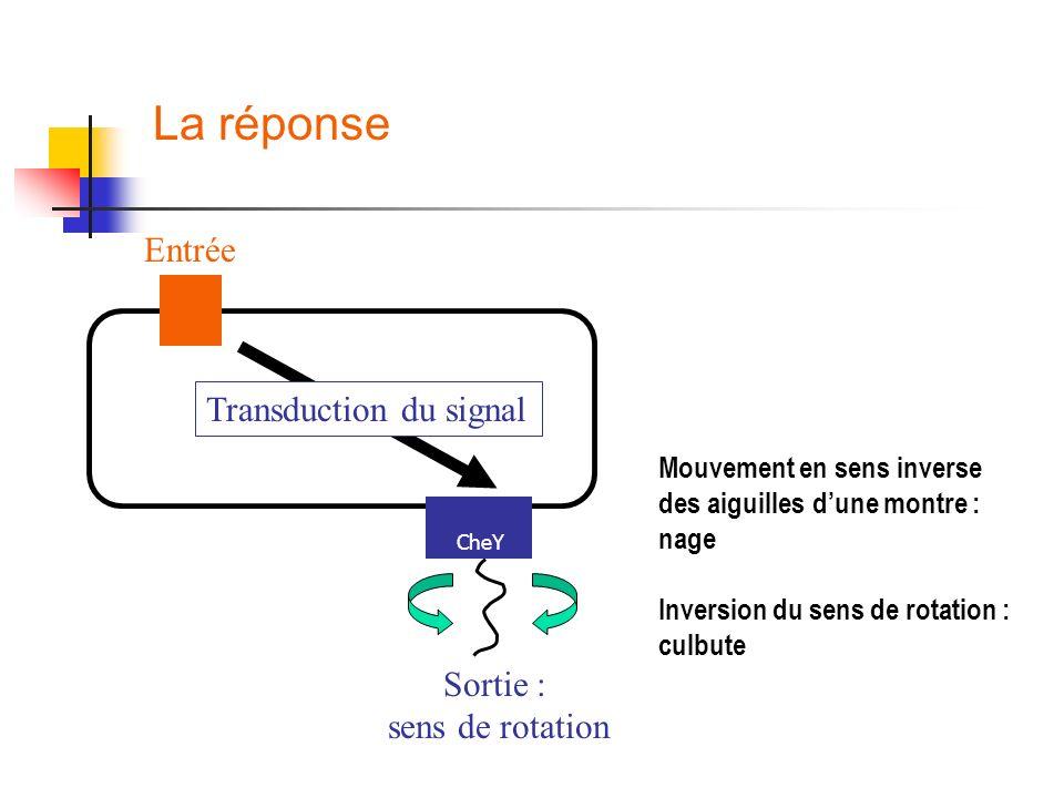 Entrée Transduction du signal Sortie : sens de rotation La réponse Mouvement en sens inverse des aiguilles dune montre : nage Inversion du sens de rot
