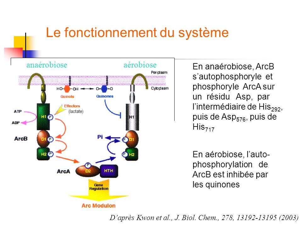 Le fonctionnement du système Daprès Kwon et al., J. Biol. Chem., 278, 13192-13195 (2003) anaérobioseaérobiose En anaérobiose, ArcB sautophosphoryle et