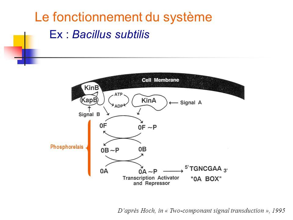 Le fonctionnement du système Ex : Bacillus subtilis Phosphorelais Daprès Hoch, in « Two-componant signal transduction », 1995