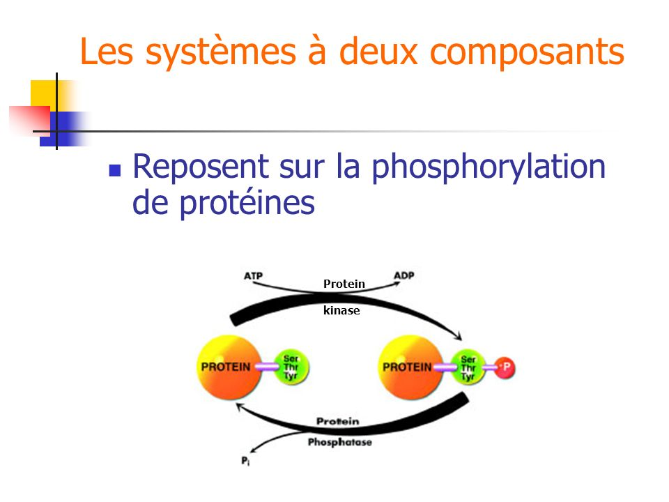 Les systèmes à deux composants Reposent sur la phosphorylation de protéines Protein kinase
