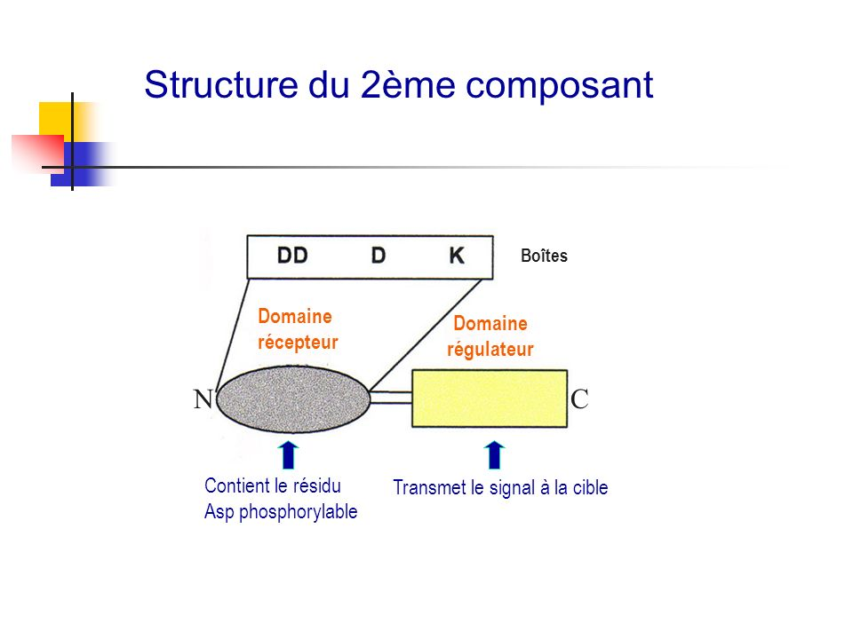 Transmet le signal à la cible Structure du 2ème composant Domaine régulateur Domaine récepteur C Contient le résidu Asp phosphorylable Boîtes N
