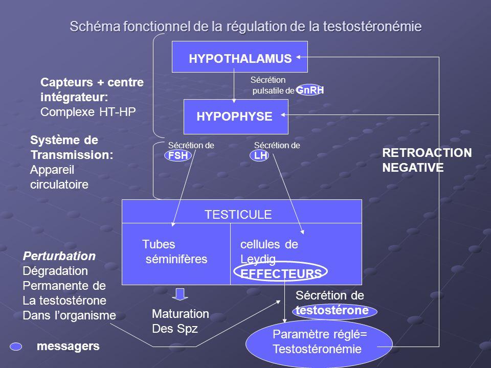 Schéma fonctionnel de la régulation de la testostéronémie HYPOTHALAMUS HYPOPHYSE Sécrétion pulsatile de GnRH Sécrétion de FSH Sécrétion de LH TESTICUL