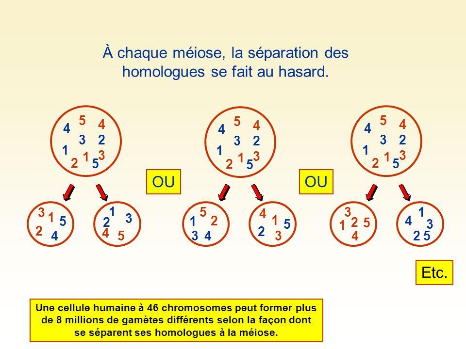 À chaque méiose, la séparation des homologues se fait au hasard. Une cellule humaine à 46 chromosomes peut former plus de 8 millions de gamètes différ