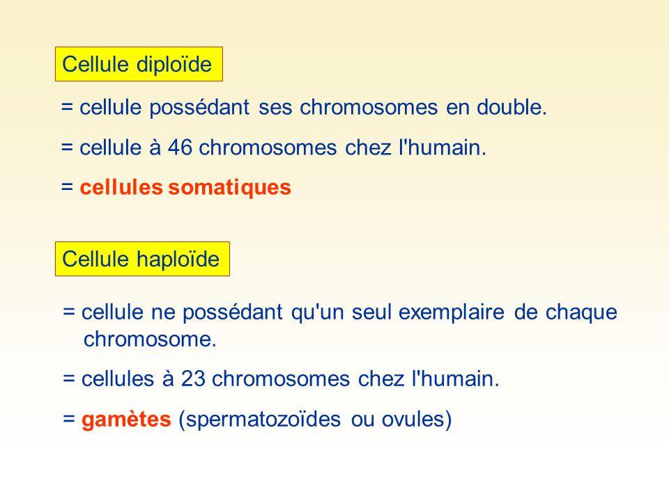 Cellule diploïde Cellule haploïde = cellule possédant ses chromosomes en double. = cellule à 46 chromosomes chez l'humain. = cellules somatiques = cel