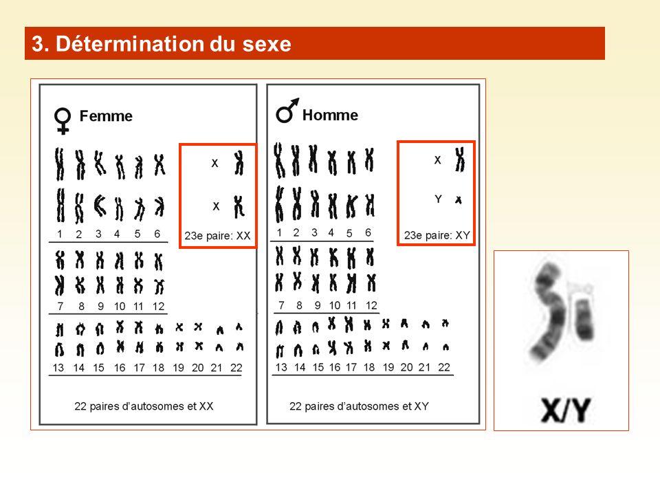 3. Détermination du sexe