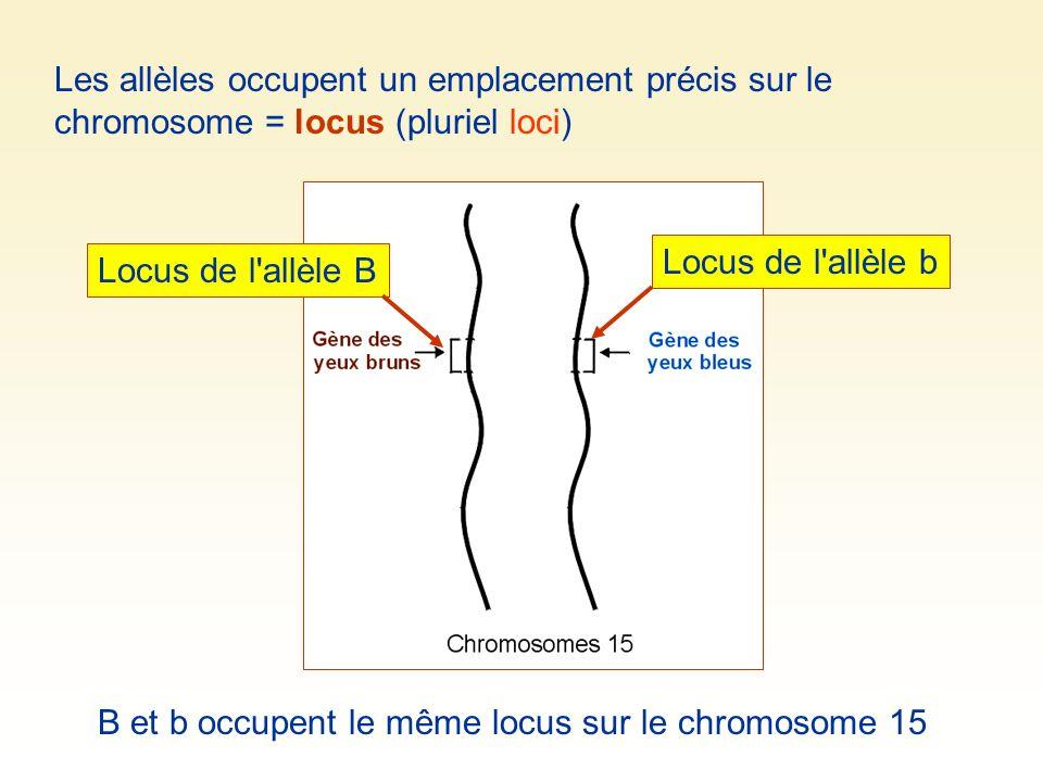 Les allèles occupent un emplacement précis sur le chromosome = locus (pluriel loci) Locus de l'allèle B Locus de l'allèle b B et b occupent le même lo