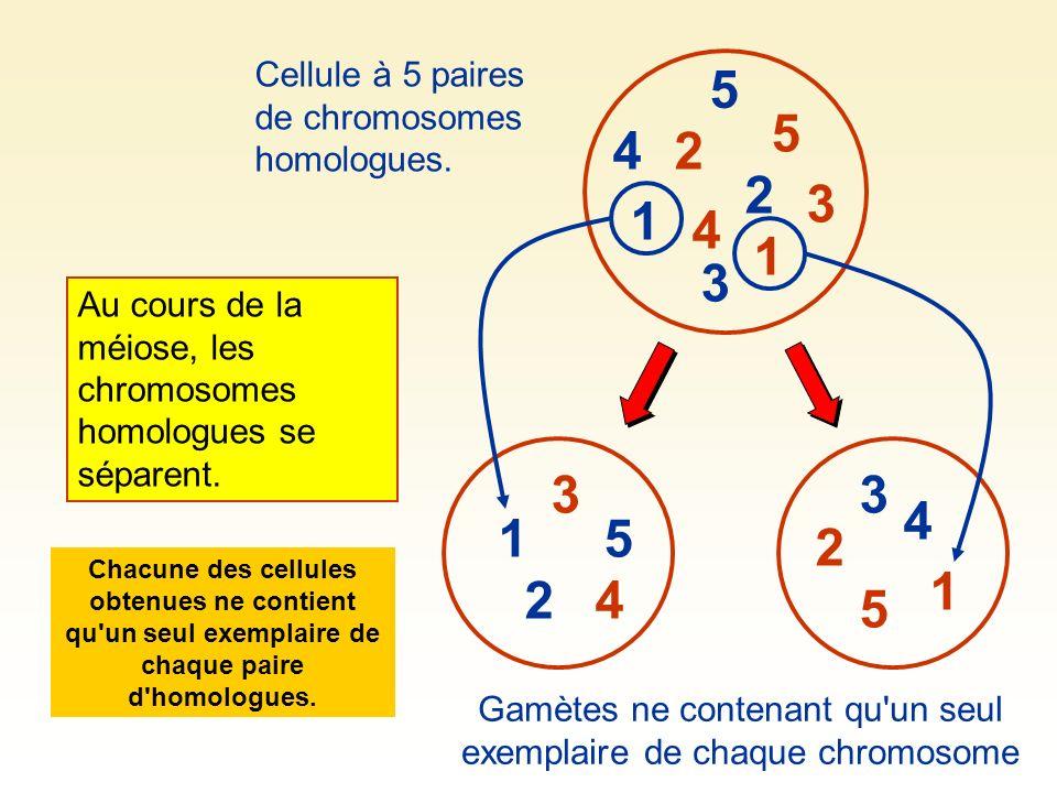 À chaque méiose, la séparation des homologues se fait au hasard.