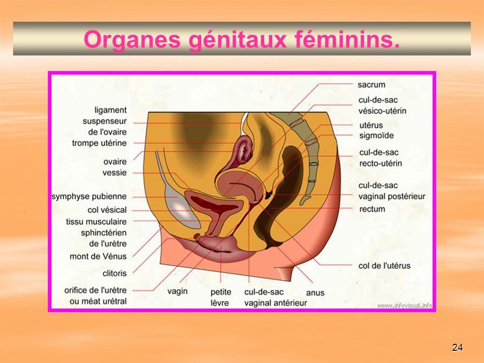 24 Organes génitaux féminins.