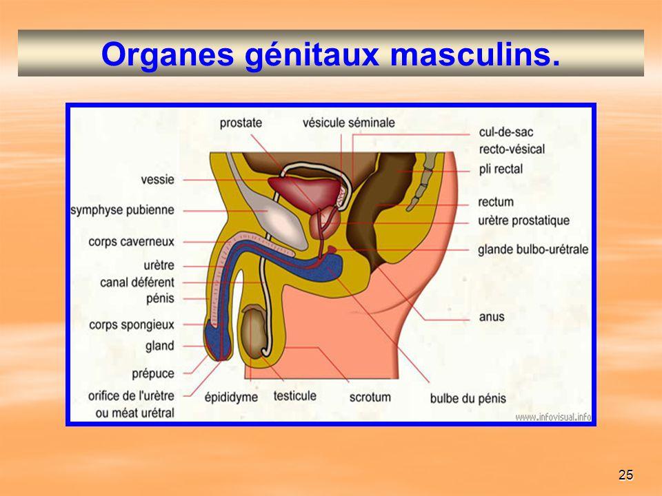 25 Organes génitaux masculins.