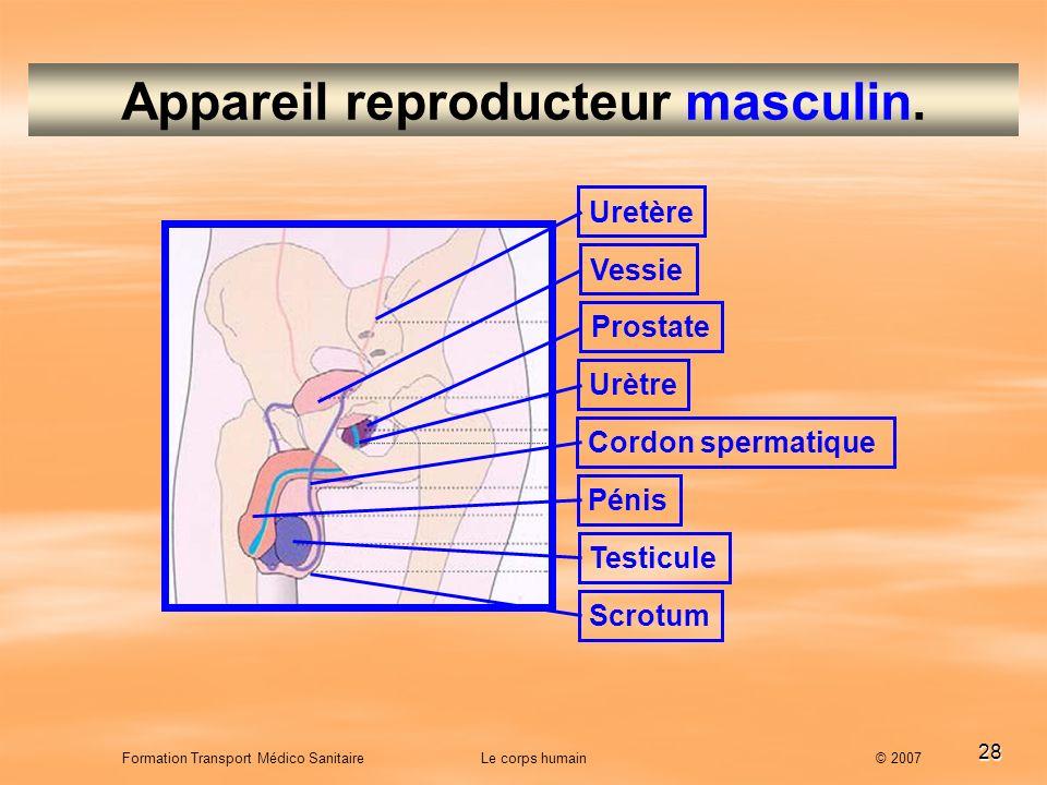 28 Formation Transport Médico Sanitaire Le corps humain © 2007 Appareil reproducteur masculin. Uretère Vessie Urètre Prostate Cordon spermatique Pénis