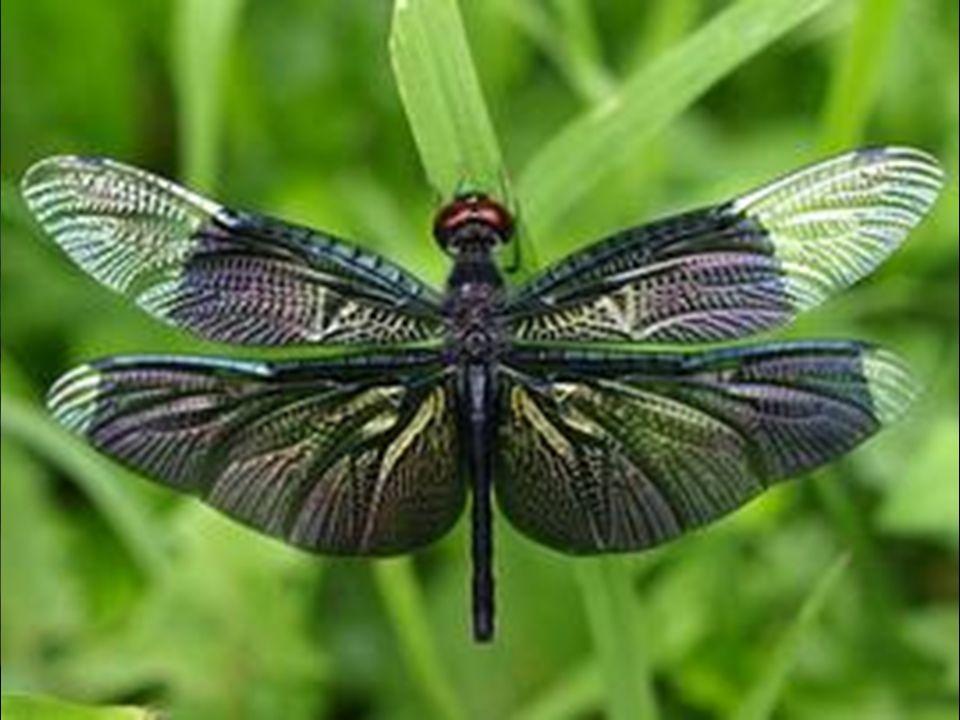Un élytre (du grec λυτρον, « elutron » qui signifie étui) forme les deux ailes antérieures, durcies et cornées (partiellement ou totalement sclérifiée