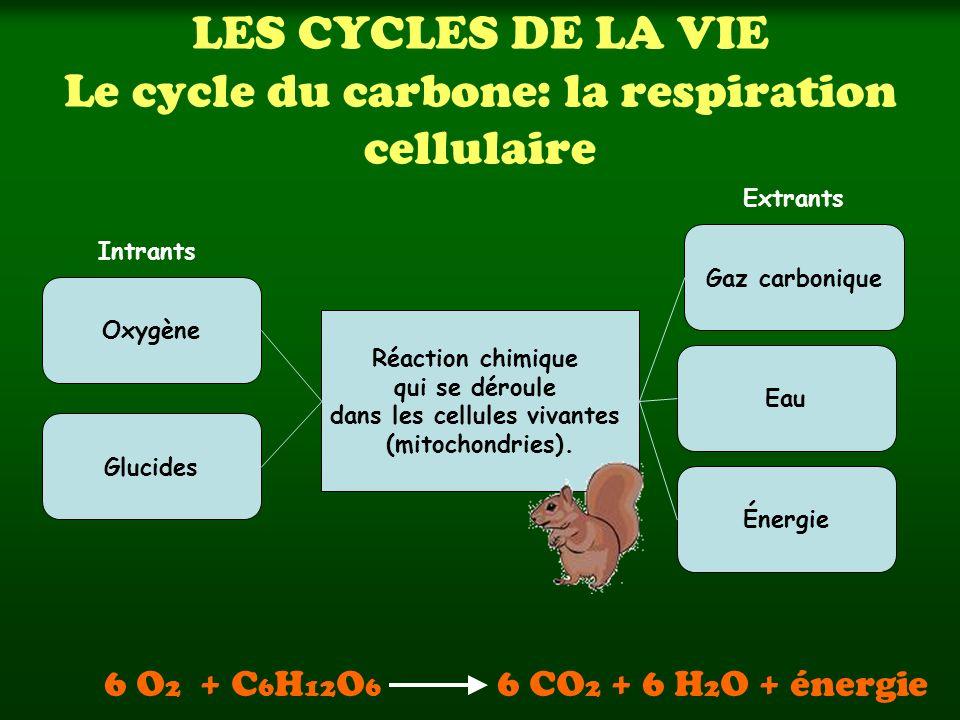 LES CYCLES DE LA VIE Le cycle du carbone: la respiration cellulaire Réaction chimique qui se déroule dans les cellules vivantes (mitochondries).