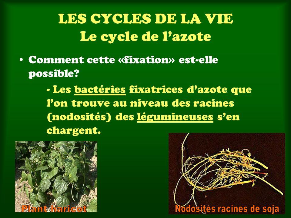 LES CYCLES DE LA VIE Le cycle de lazote Comment cette «fixation» est-elle possible? - Les bactéries fixatrices dazote que lon trouve au niveau des rac