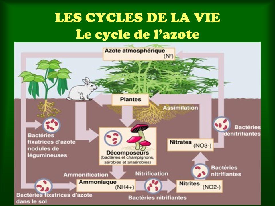 LES CYCLES DE LA VIE Le cycle de lazote