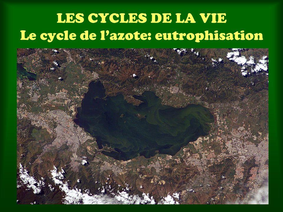 LES CYCLES DE LA VIE Le cycle de lazote: eutrophisation
