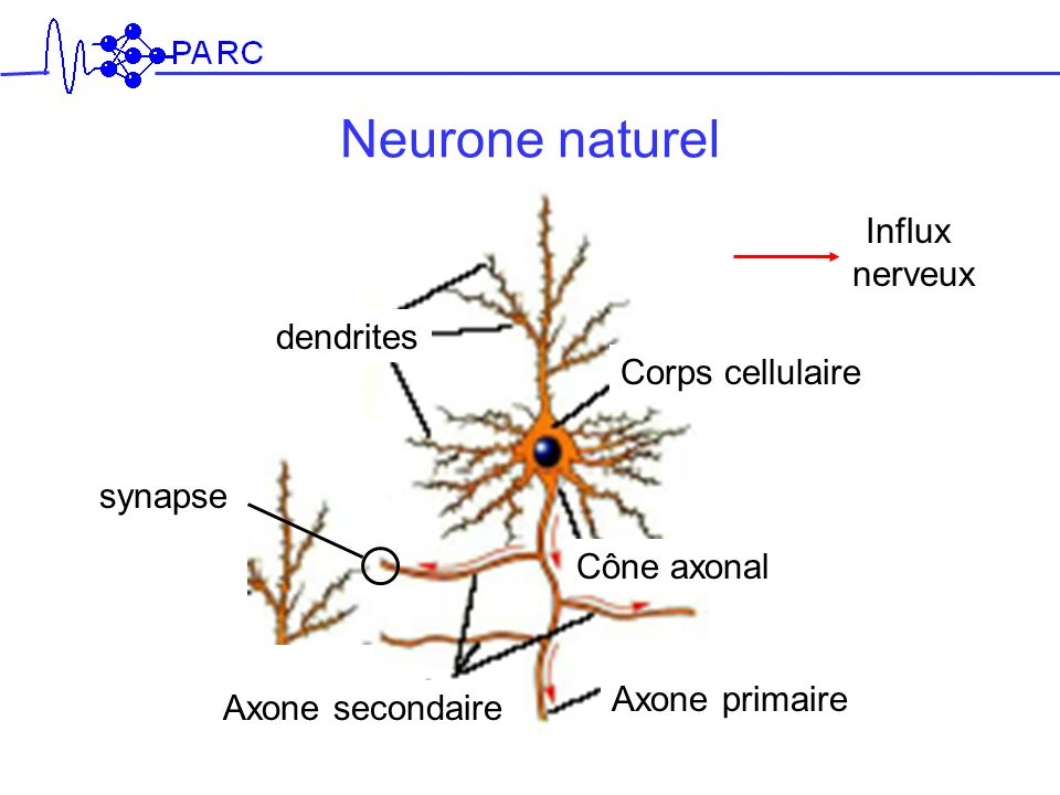 Neurone naturel dendrites Corps cellulaire Cône axonal Axone primaire Influx nerveux Axone secondaire synapse
