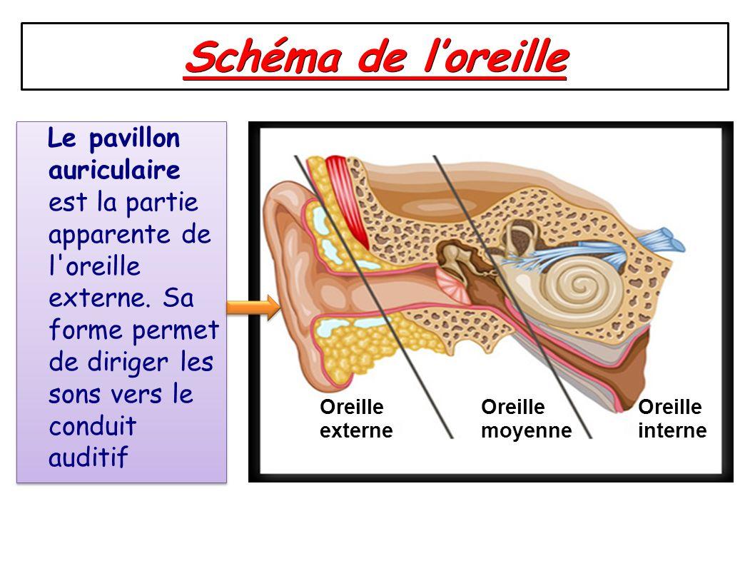 Schéma de loreille Oreille externe Oreille moyenne Oreille interne