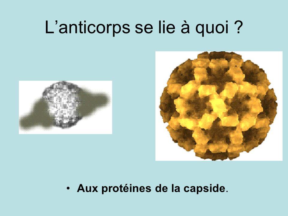Lanticorps se lie à quoi ? Aux protéines de la capside.
