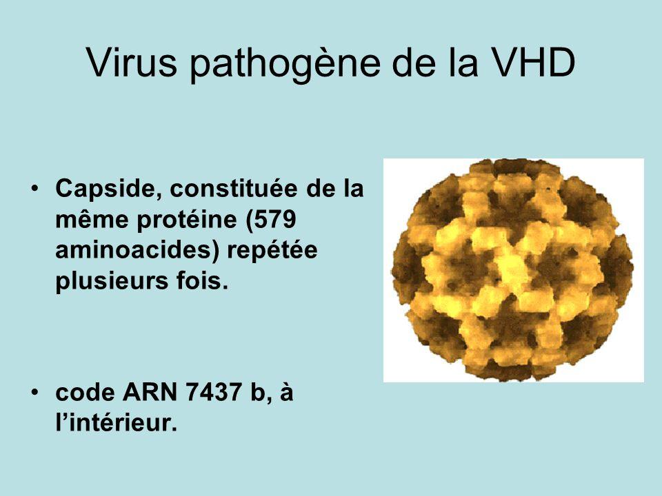 Virus pathogène de la VHD Capside, constituée de la même protéine (579 aminoacides) repétée plusieurs fois. code ARN 7437 b, à lintérieur.
