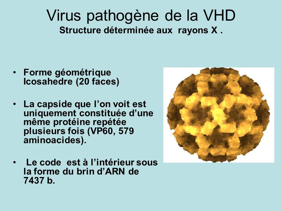 Virus pathogène de la VHD Structure déterminée aux rayons X. Forme géométrique Icosahedre (20 faces) La capside que lon voit est uniquement constituée