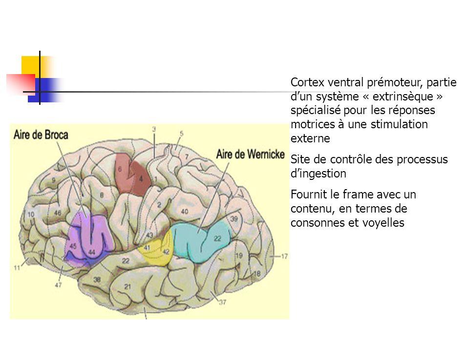 Cortex ventral prémoteur, partie dun système « extrinsèque » spécialisé pour les réponses motrices à une stimulation externe Site de contrôle des processus dingestion Fournit le frame avec un contenu, en termes de consonnes et voyelles
