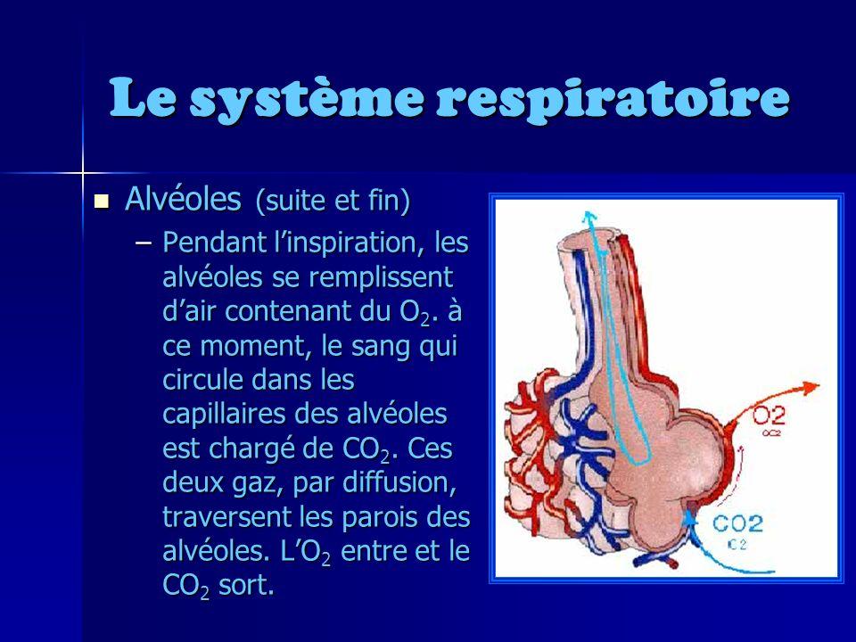 Le système respiratoire Alvéoles (suite et fin) Alvéoles (suite et fin) –Pendant linspiration, les alvéoles se remplissent dair contenant du O 2.