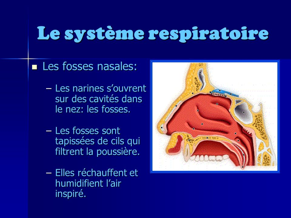 Le système respiratoire Les fosses nasales: Les fosses nasales: –Les narines souvrent sur des cavités dans le nez: les fosses.
