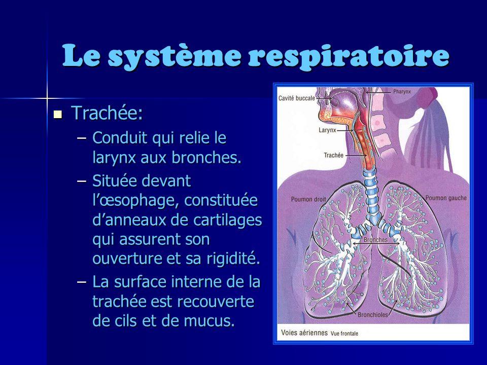 Le système respiratoire Trachée: Trachée: –Conduit qui relie le larynx aux bronches.