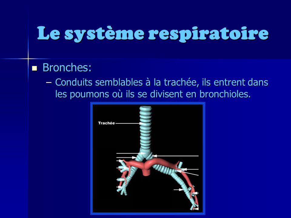 Le système respiratoire Bronches: Bronches: –Conduits semblables à la trachée, ils entrent dans les poumons où ils se divisent en bronchioles.
