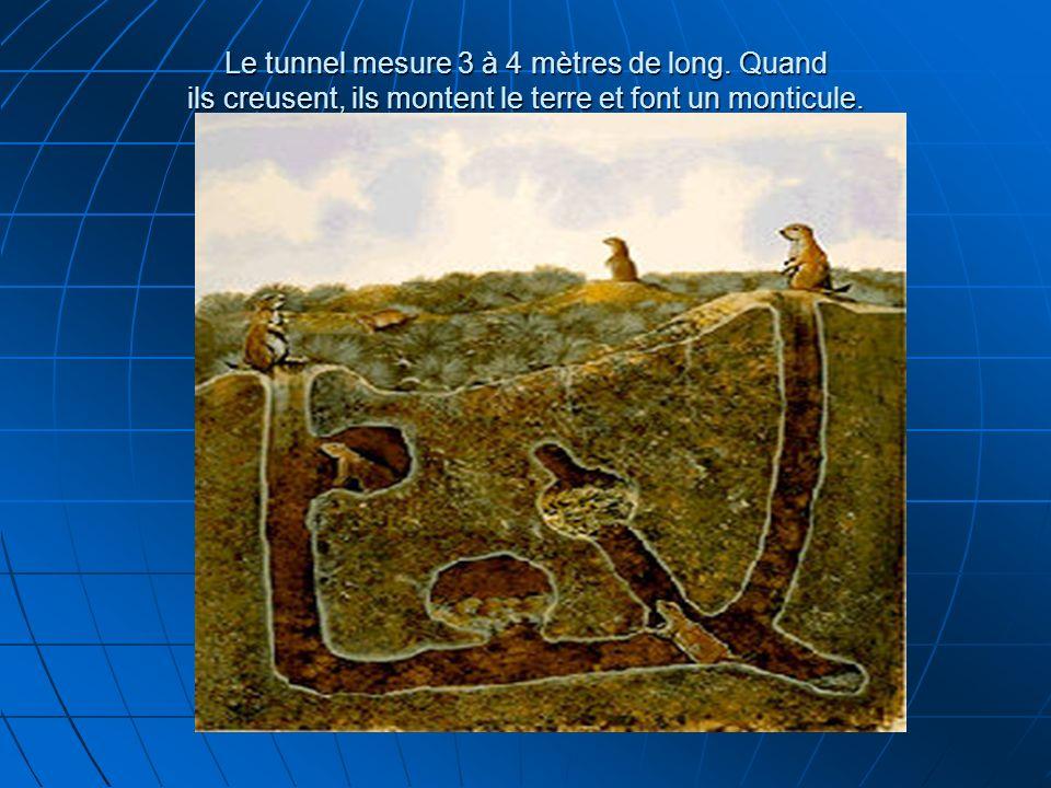 Le tunnel mesure 3 à 4 mètres de long. Quand ils creusent, ils montent le terre et font un monticule. Le tunnel mesure 3 à 4 mètres de long. Quand ils