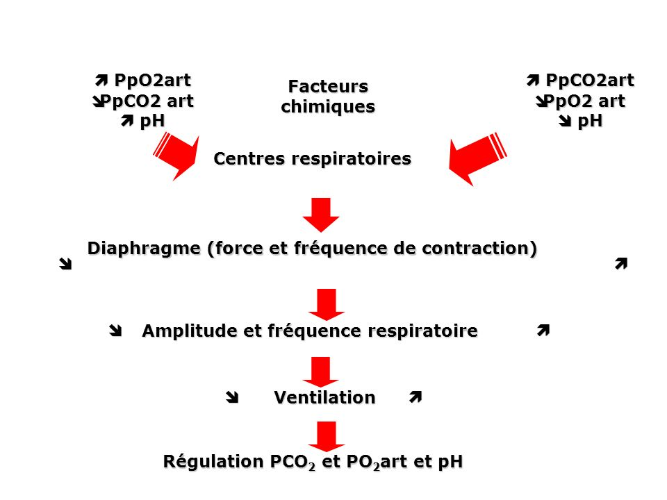 PpCO2art PpCO2art PpO2 art PpO2 art pH pH PpO2art PpO2art PpCO2 art PpCO2 art pH pH Facteurs chimiques Centres respiratoires Diaphragme (force et fréquence de contraction) Amplitude et fréquence respiratoire Ventilation Régulation PCO 2 et PO 2 art et pH Régulation PCO 2 et PO 2 art et pH