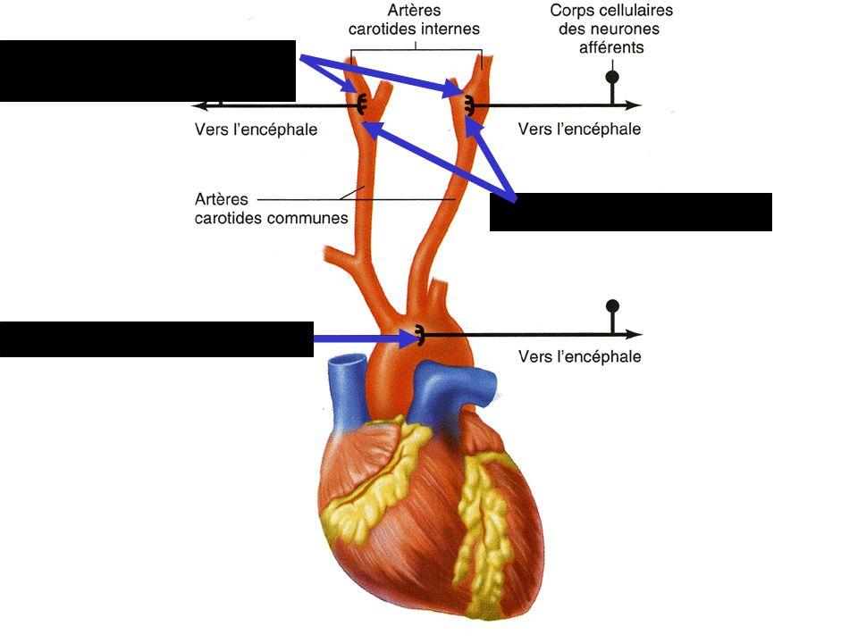 Sinus carotidiens Corpuscules carotidiens Corpuscules aortiques