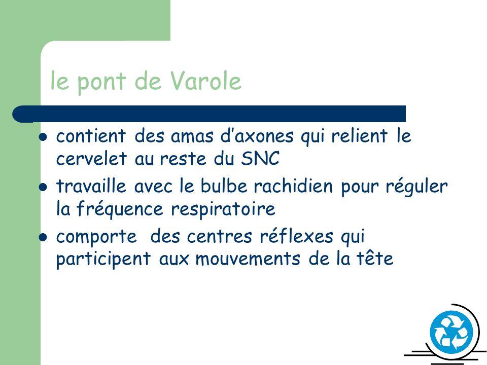 le pont de Varole contient des amas daxones qui relient le cervelet au reste du SNC travaille avec le bulbe rachidien pour réguler la fréquence respiratoire comporte des centres réflexes qui participent aux mouvements de la tête