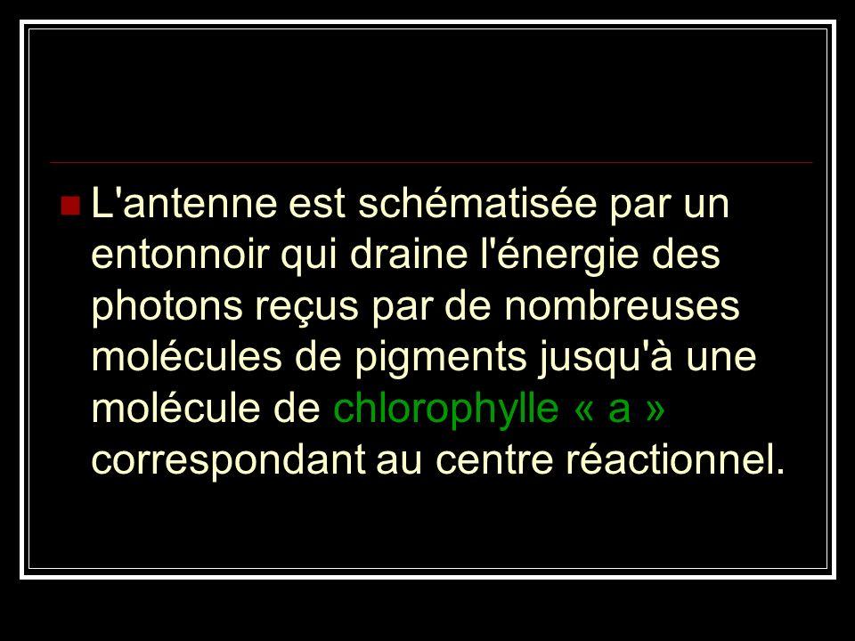 L'antenne est schématisée par un entonnoir qui draine l'énergie des photons reçus par de nombreuses molécules de pigments jusqu'à une molécule de chlo