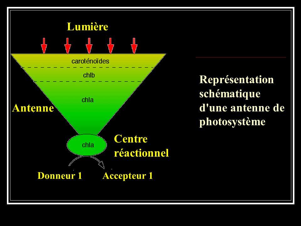 Représentation schématique d'une antenne de photosystème Antenne Donneur 1 Accepteur 1 Lumière Centre réactionnel