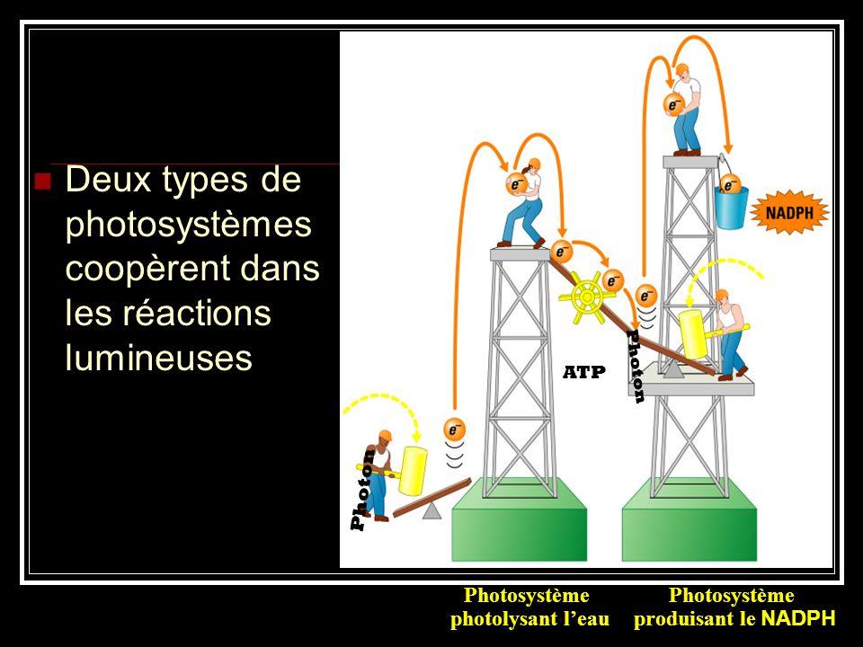Photon Photosystème produisant le NADPH ATP Deux types de photosystèmes coopèrent dans les réactions lumineuses Photosystème photolysant leau