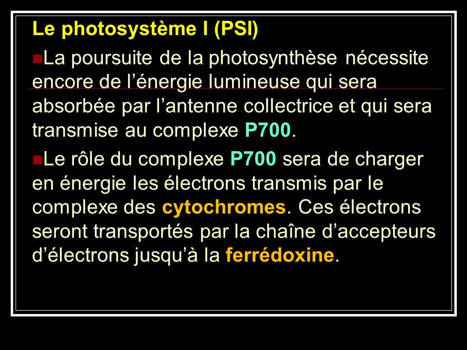 Le photosystème I (PSI) La poursuite de la photosynthèse nécessite encore de lénergie lumineuse qui sera absorbée par lantenne collectrice et qui sera