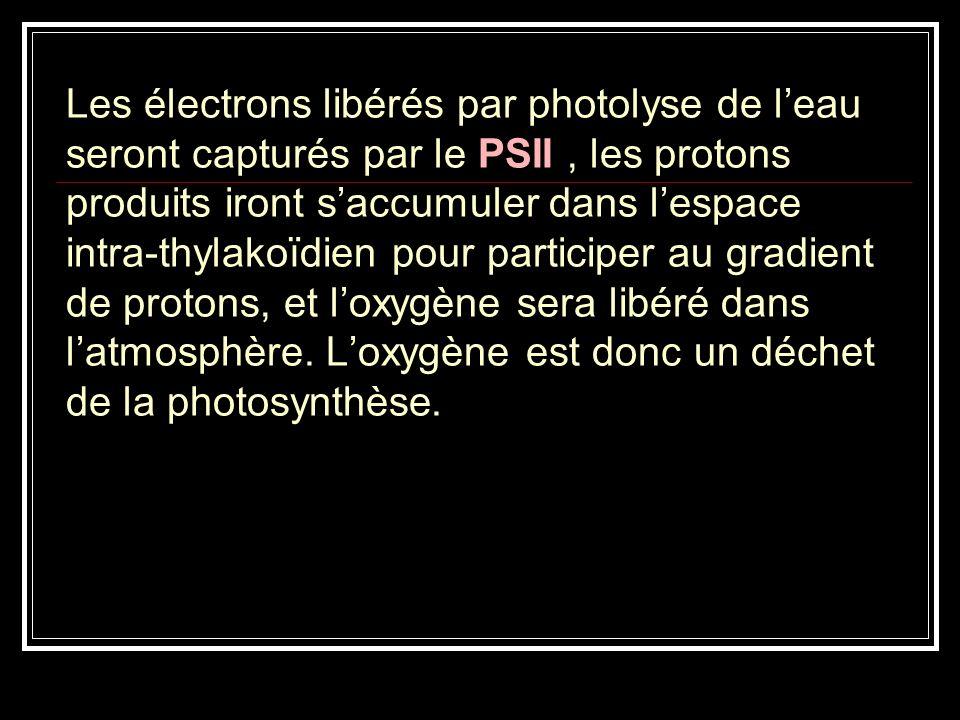 Les électrons libérés par photolyse de leau seront capturés par le PSII, les protons produits iront saccumuler dans lespace intra-thylakoïdien pour pa