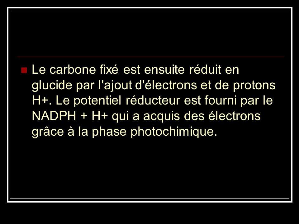 Le carbone fixé est ensuite réduit en glucide par l'ajout d'électrons et de protons H+. Le potentiel réducteur est fourni par le NADPH + H+ qui a acqu