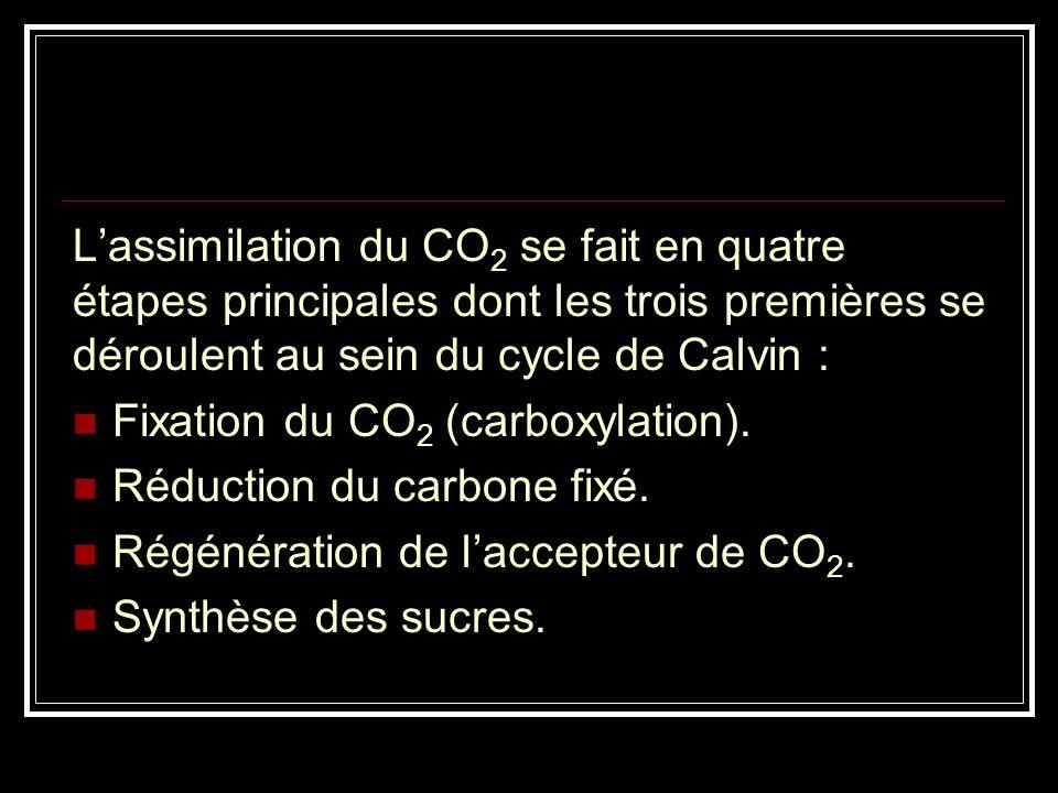 Lassimilation du CO 2 se fait en quatre étapes principales dont les trois premières se déroulent au sein du cycle de Calvin : Fixation du CO 2 (carbox