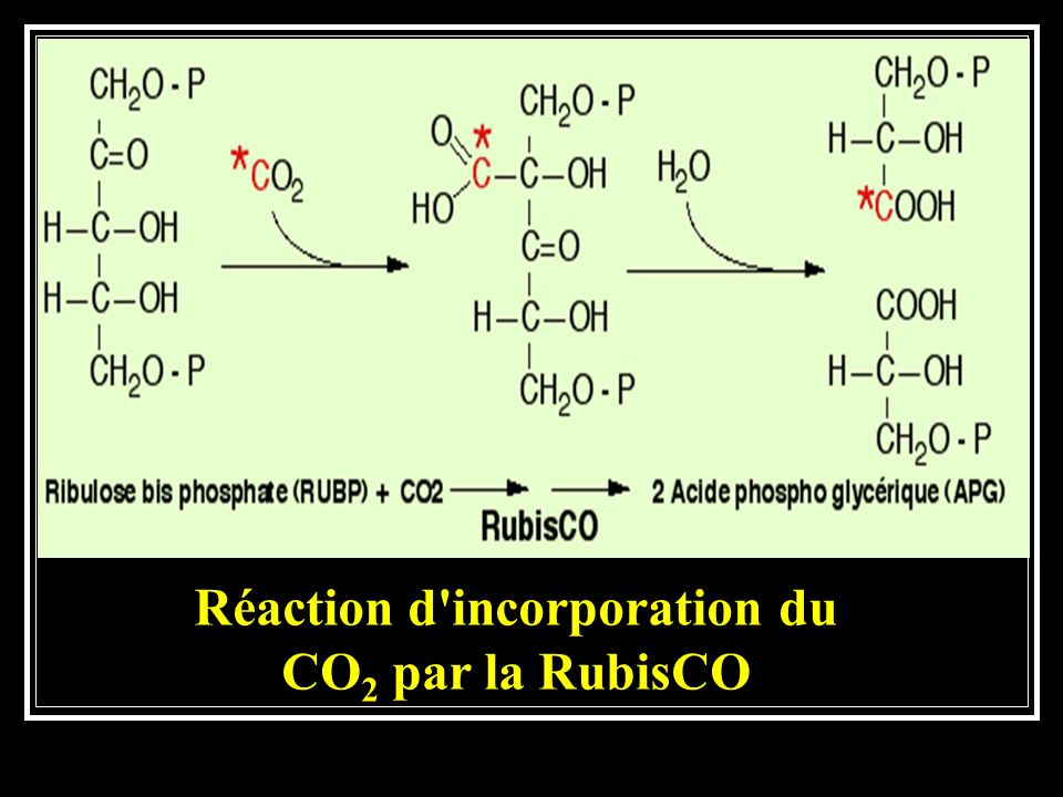 Réaction d incorporation du CO 2 par la RubisCO