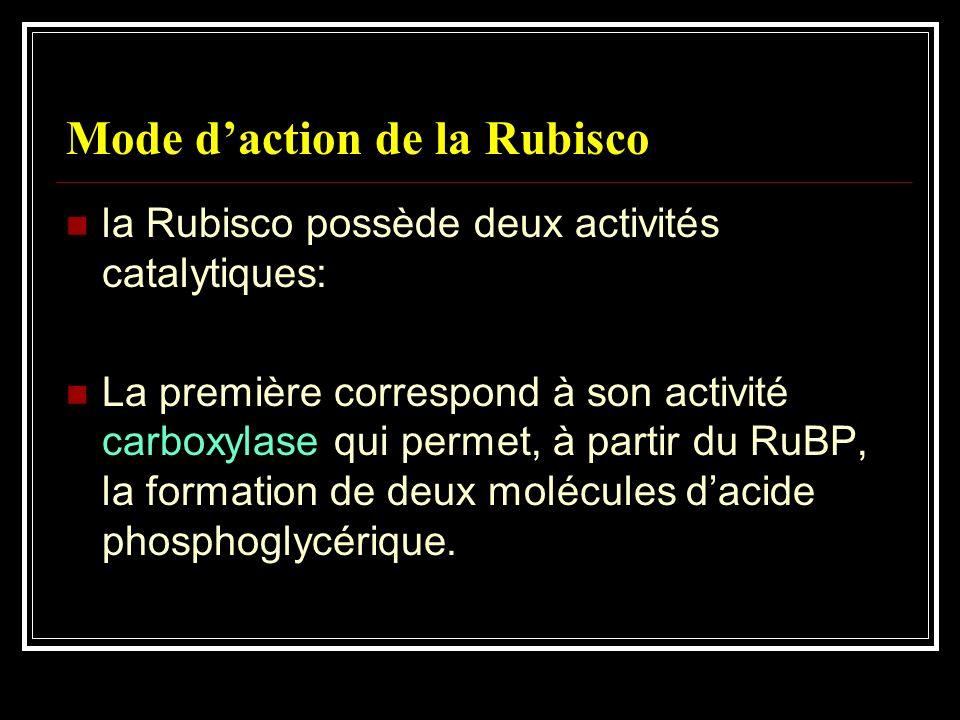 Mode daction de la Rubisco la Rubisco possède deux activités catalytiques : La première correspond à son activité carboxylase qui permet, à partir du
