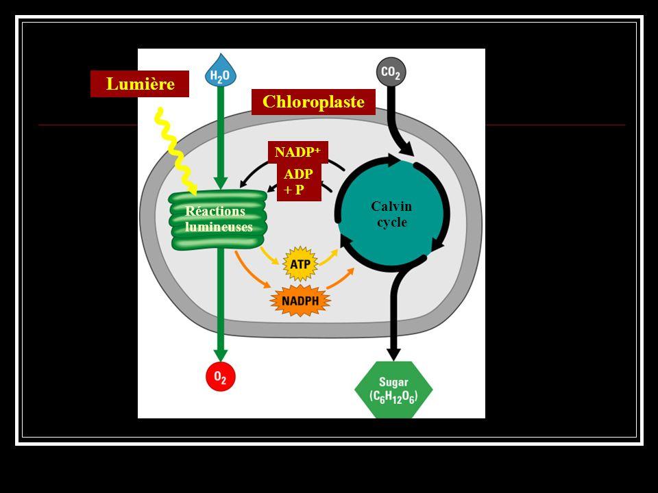 Mécanismes de la phase claire La phase claire : capter lénergie lumineuse des photons et la transmettre, via des électrons chargés de cette énergie, à une chaîne daccepteurs délectrons : phase photochimique.