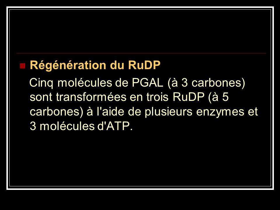 Régénération du RuDP Cinq molécules de PGAL (à 3 carbones) sont transformées en trois RuDP (à 5 carbones) à l'aide de plusieurs enzymes et 3 molécules