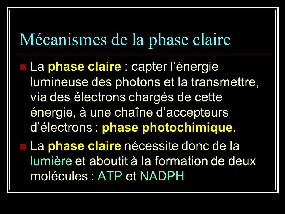 Mécanismes de la phase claire La phase claire : capter lénergie lumineuse des photons et la transmettre, via des électrons chargés de cette énergie, à