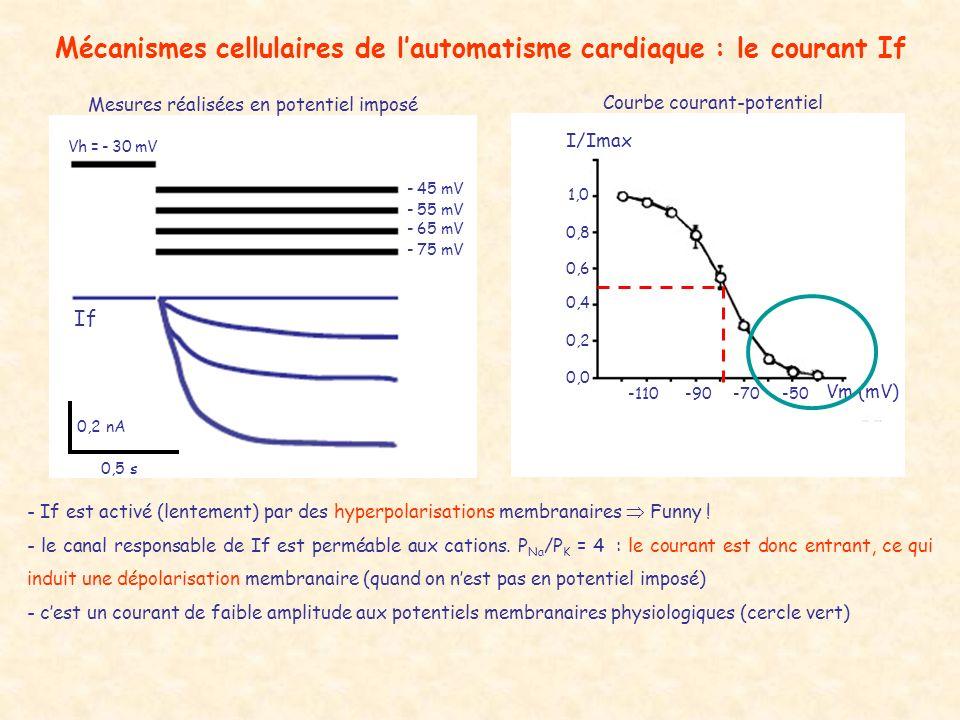 Mécanismes cellulaires de lautomatisme cardiaque : le courant If Vh = - 30 mV - 45 mV - 55 mV - 65 mV - 75 mV If 0,5 s 0,2 nA I/Imax 1,0 0,8 0,6 0,4 0