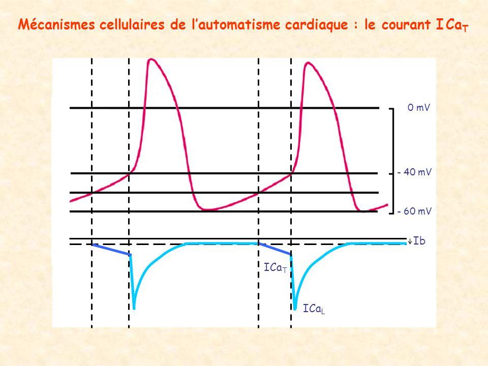 - 60 mV - 40 mV 0 mV ICa T ICa L Ib Mécanismes cellulaires de lautomatisme cardiaque : le courant I Ca T