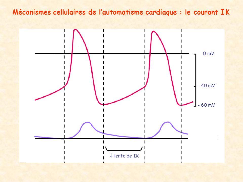 Mécanismes cellulaires de lautomatisme cardiaque : le courant I K - 60 mV - 40 mV 0 mV lente de IK